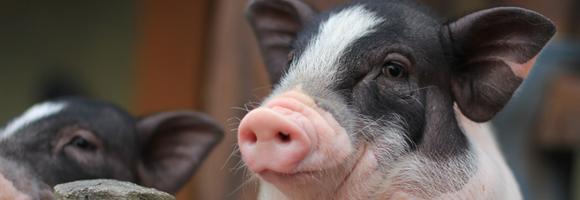 稳定生猪生产,山东兽用原料药有这样一系列政策措施
